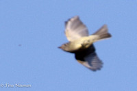 Unknown flycatcher in flight