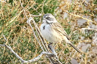 Sagebrush Sparrows