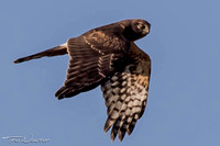 Harrier Hawk sub-adult