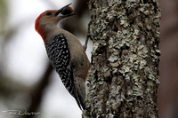 Red-bellied Woodpecker with acorn