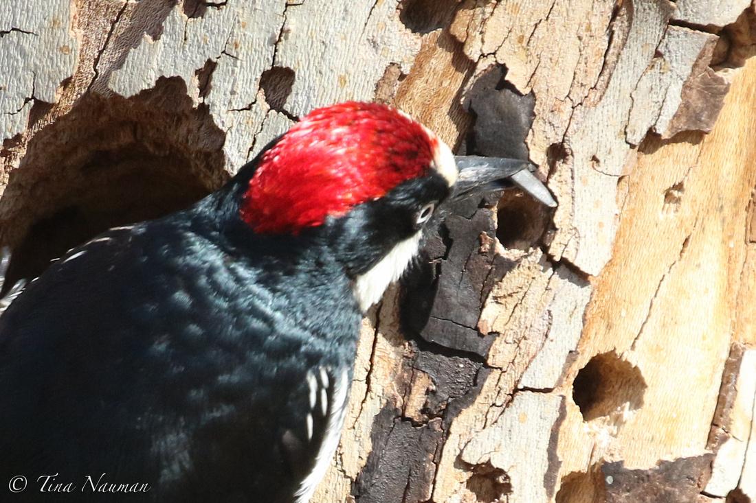 Acorn Woodpecker-6849