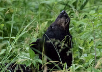 Bears of Cades Cove