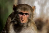 Adult Rhesus Monkey