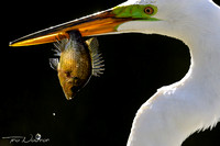 Great Egret with fish lunch