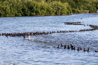 A few of 4,000 Coots