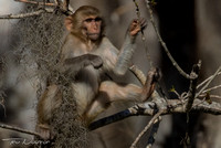 Young Rhesus Monkey