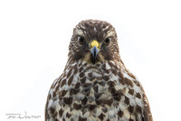 juvi Red-shouldered Hawk