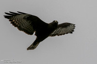 Short-tailed Hawk dark morph