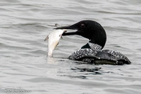 Loons & more on the Lexington Reservoirs
