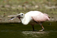 KY Roseate Spoonbill
